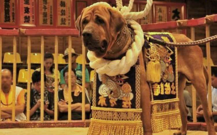 Тоса ину - это удивительная порода, которая сочетала в себе доброту и жесткость бойцовских собак.