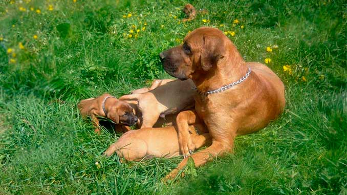 Тоса-ину фото со щенками