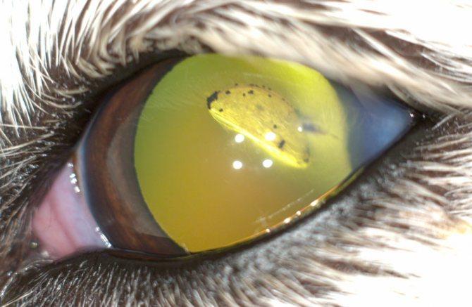 Травматическая катаракта у животного