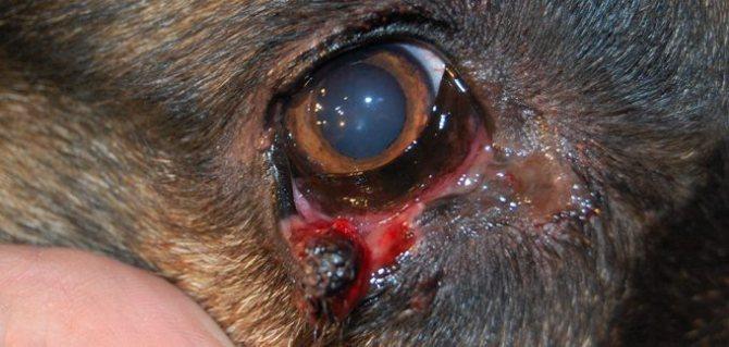 Травмированный глаз у собаки