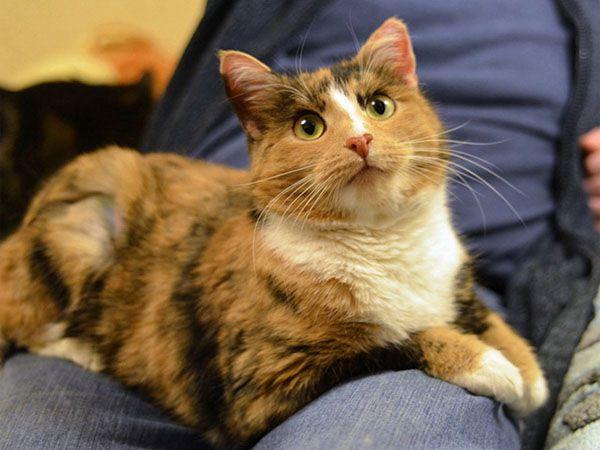 Трехцветная кошка на коленях