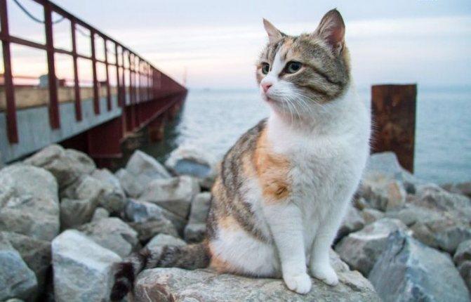Трехцветная кошка у моря