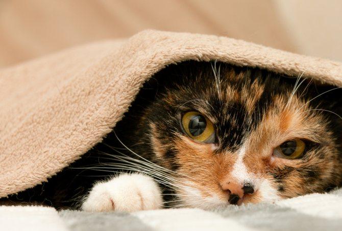 Третье веко у кошек