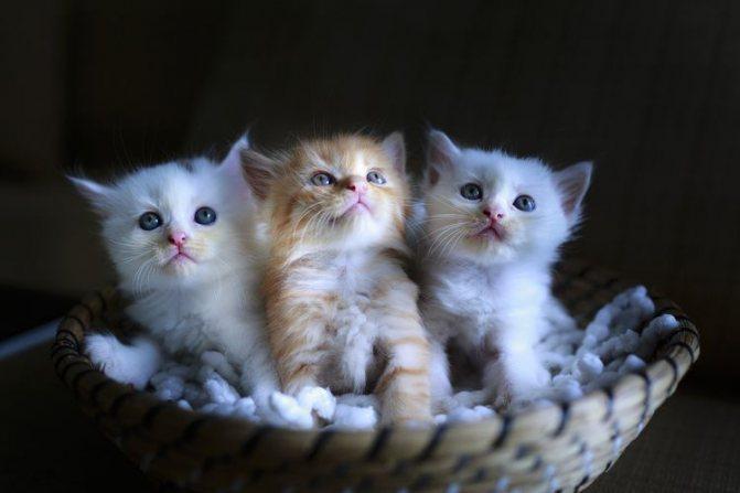 Три котенка в корзине