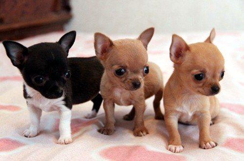 Три месячных щенка
