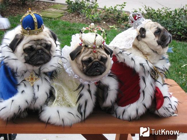 Три мопса в королевской накидке