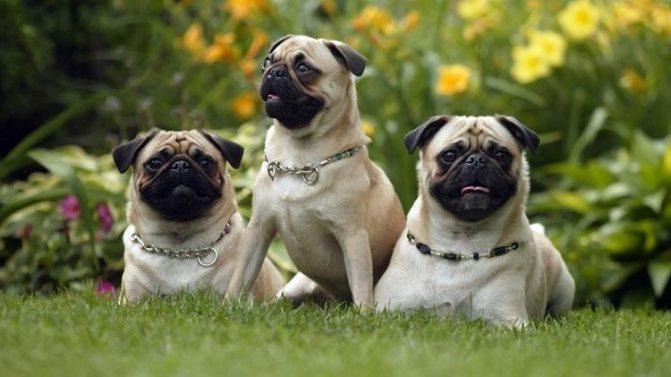 Три мопса