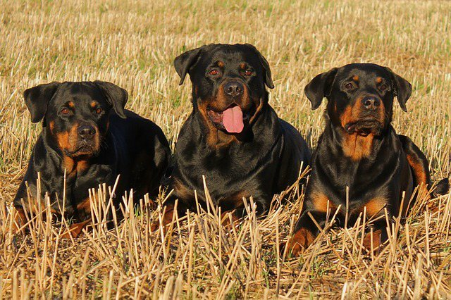 три ротвейлера