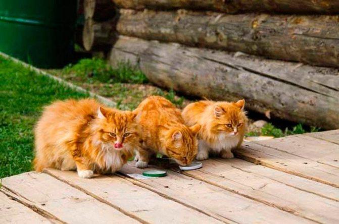 Три рыжих кота едят