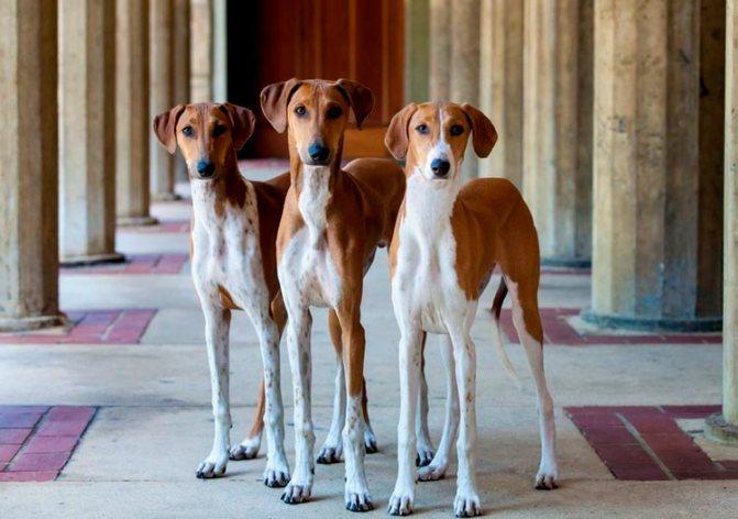 три собаки породы азавак