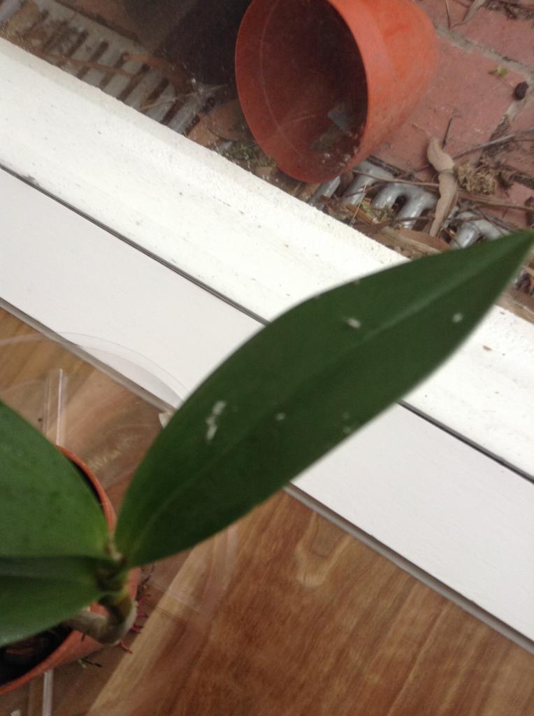 трипс на орхидее