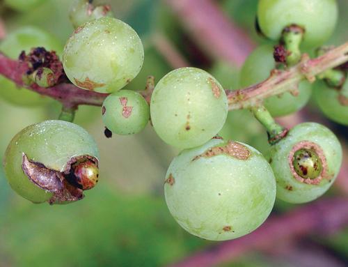 трипс на винограде