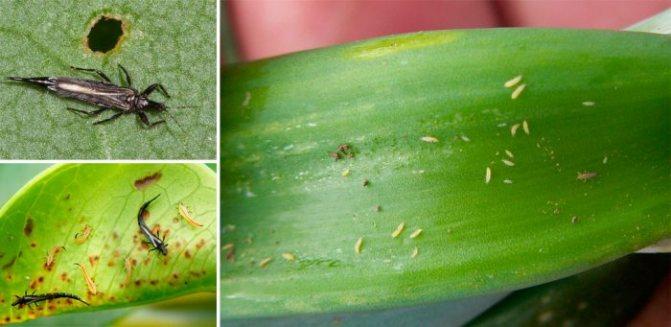 Трипсы могут появиться как в теплице, так и в открытом грунте. Чаще всего этого паразита заносят на участок вместе с луковичными растениями