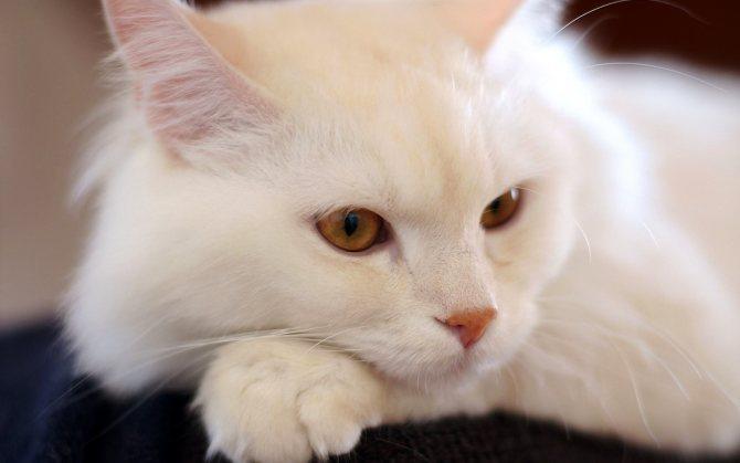 Турецкая ангорская кошка.