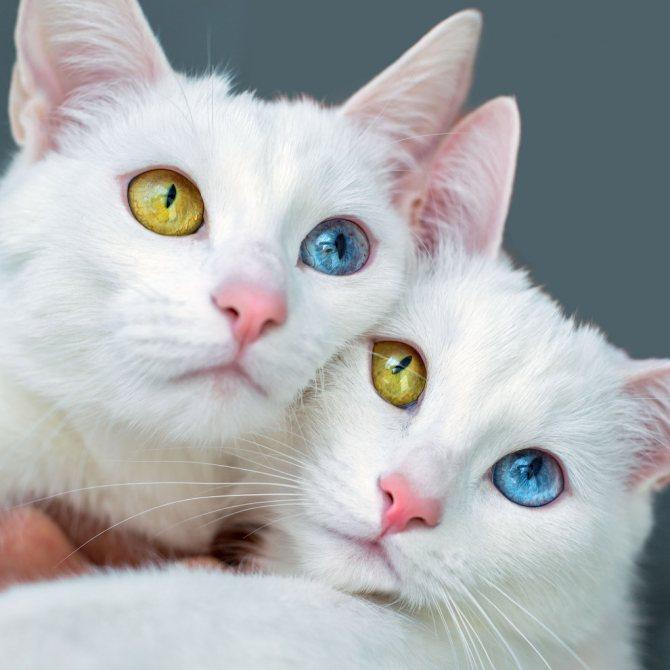 Турецкий ван кошка с разными глазами
