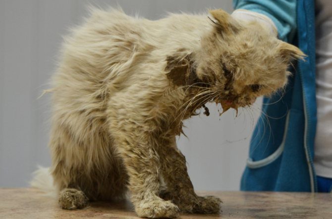 У больной лейкемией кошки неопрятный вид