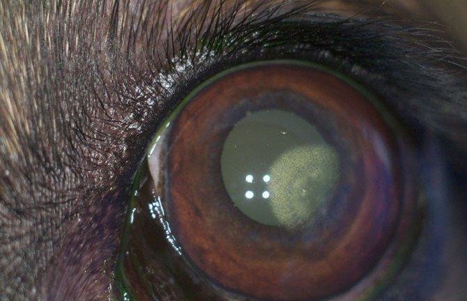 У чешской волчьей собаки возможны проблемы со зрением