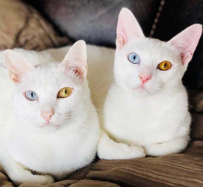 У какой породы кошек разные глаза