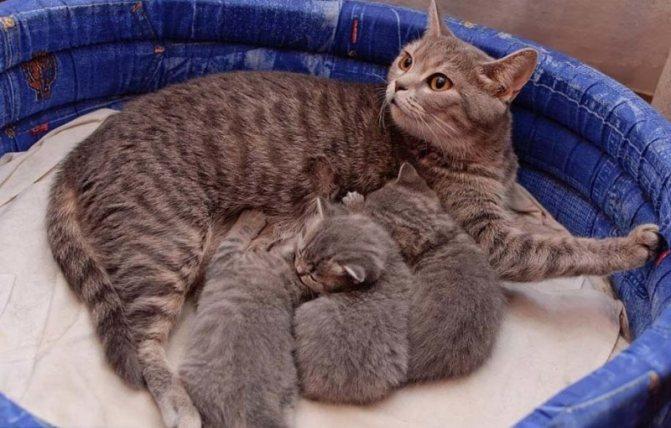 У кошки нет молока после родов: причины, что делать хозяину
