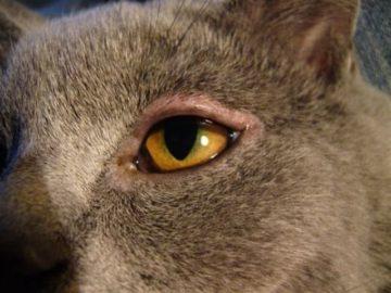у кошки опухло веко
