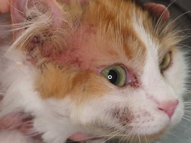 У кошки расчесы из-за аллергии