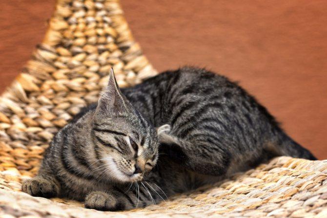 У кошки расчесы из-за гормональных сбоев