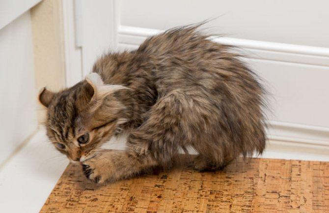 У кошки расчесы из-за лишая