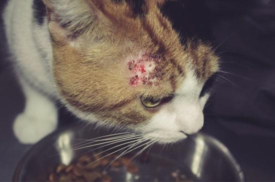 У кошки расчесы из-за стресса
