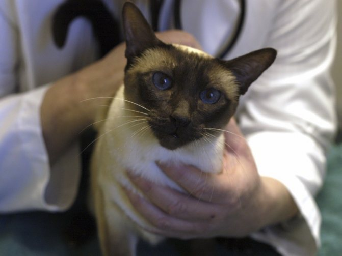 У кота кашель и хрипы чем лечить: отхаркивающие средства для кошек