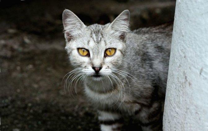У кота не открывается внутреннее веко. Третье веко у кошки: что это такое и почему возникает. Лечение третьего века у кошки. Особенности лечения беременных кошек и котят