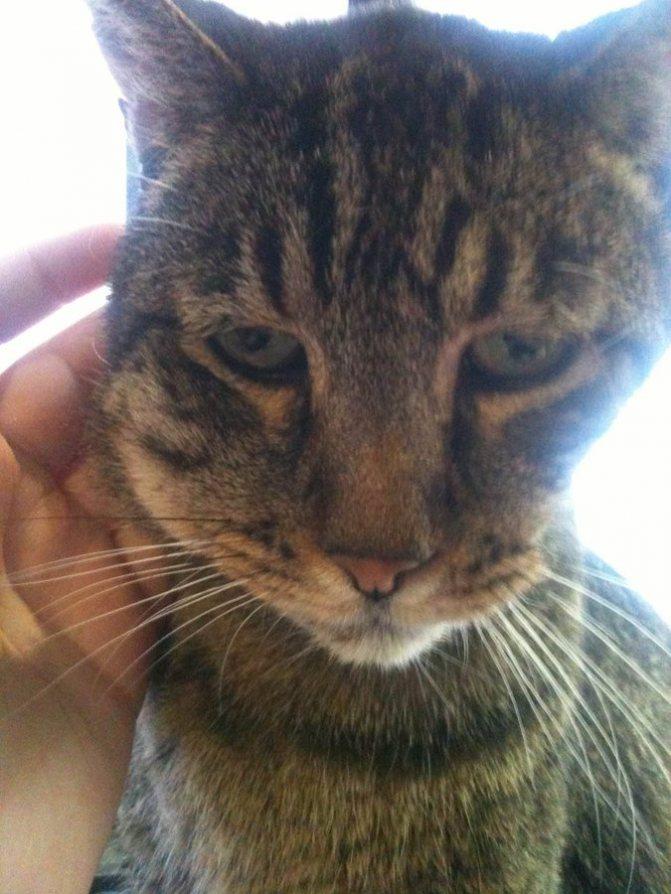 у кота опухла щека и заплыл глаз