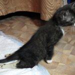 У кота отказывают задние лапы