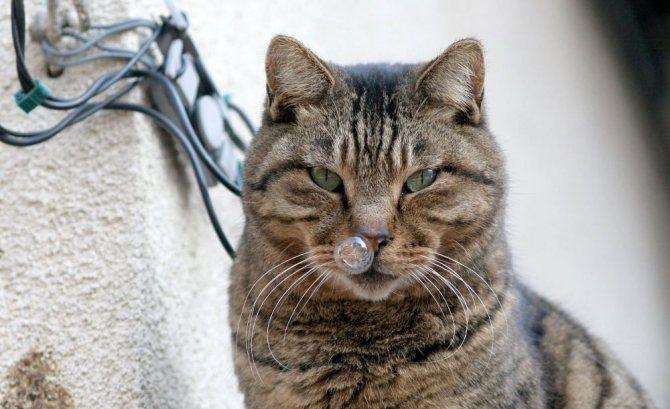 у кота пузырь из ноздри