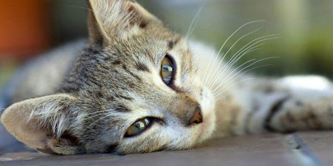 У кота в почках камни: симптомы и лечение