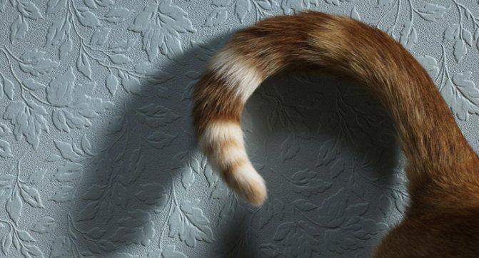 У кота жирная слипшаяся шерсть. Почему у кота сальный хвост