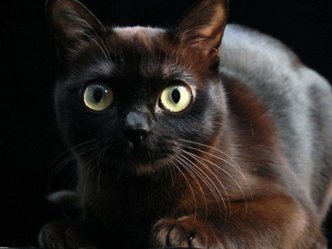У котов темного окраса обычно оболочки когтей темные