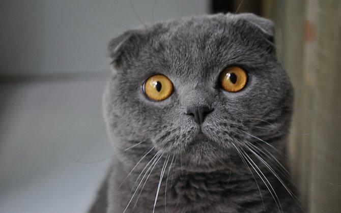 У шотландской кошки ушки загнуты