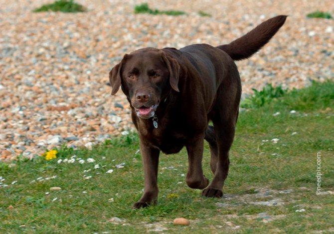 У собак крупных пород хромота может быть связана с дисплазией тазобедренного сустава