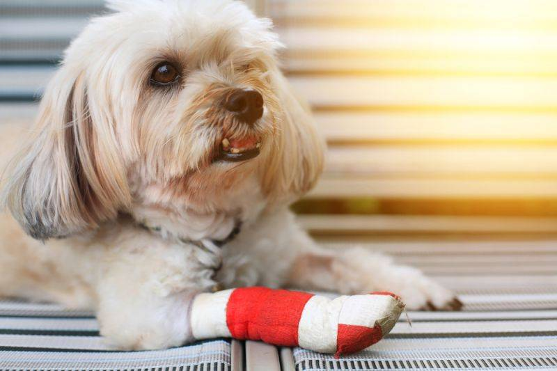 У собаки болит лапа передняя что делать