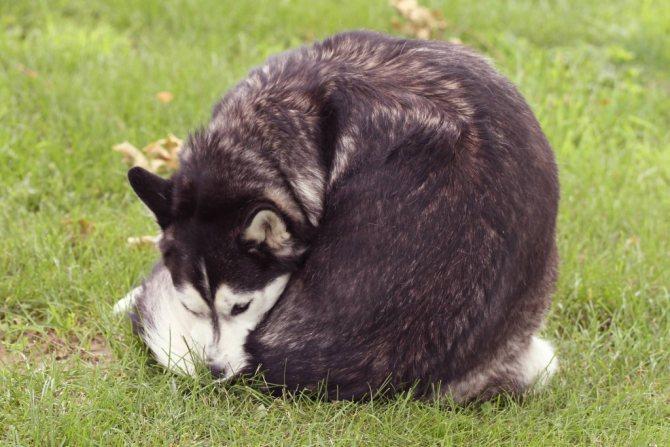у собаки глисты