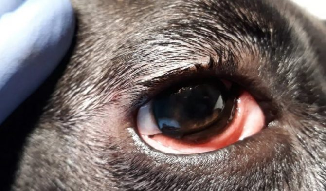 у собаки конъюнктивит