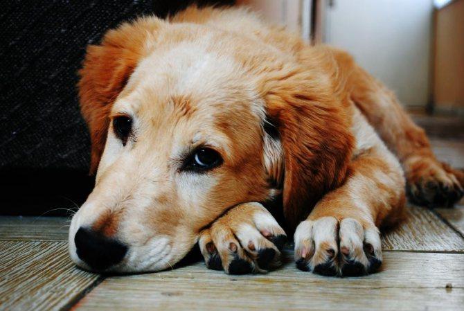 У собаки отказывают задние лапы при мочекаменной болезни