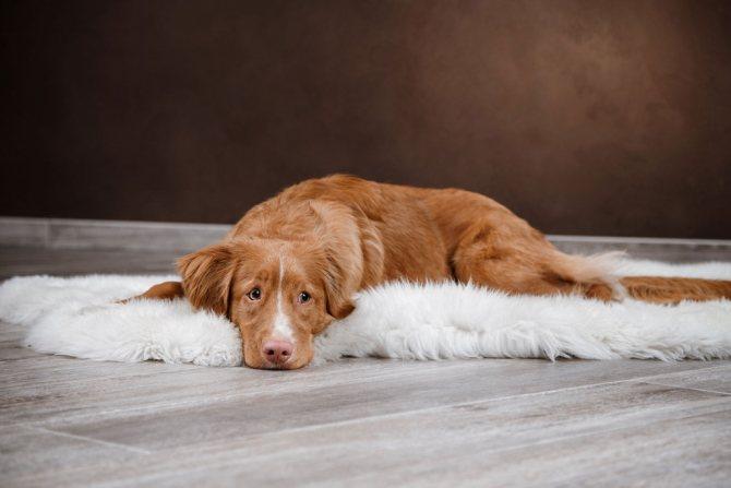 У собаки отказывают задние лапы при заболевания опорно-двигательного аппарата и ЦНС