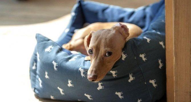 У собаки отказывают задние лапы