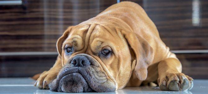 У собаки подкожные глисты