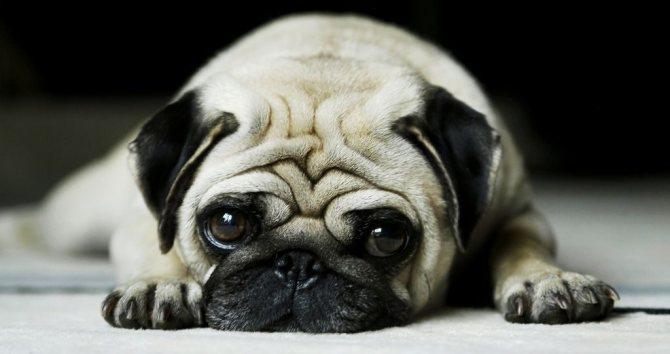 У собаки пропал голос
