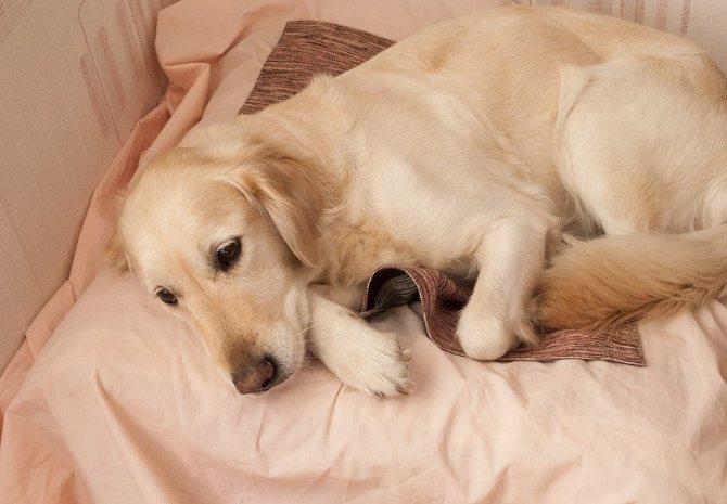 У собаки сердечные глисты