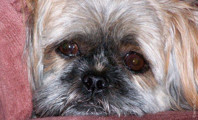 У собаки слезятся глаза