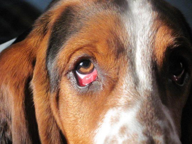 у собаки ячмень на глазу что делать