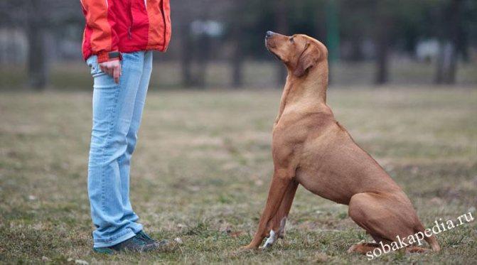Учим щенка и собаку команде «сидеть» — советы кинологов